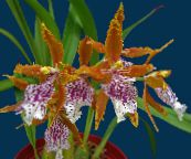 orange Tiger Orchid, Lily of the Valley Orchid Herbaceous Plant