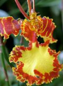 orange Dancing Lady Orchid, Cedros Bee, Leopard Orchid Herbaceous Plant