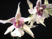 white Dancing Lady Orchid, Cedros Bee, Leopard Orchid Herbaceous Plant