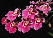 pink Dancing Lady Orchid, Cedros Bee, Leopard Orchid Herbaceous Plant
