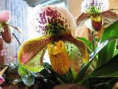 yellow Slipper Orchids Herbaceous Plant