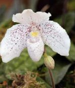 white Slipper Orchids Herbaceous Plant