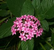 pink Pentas, Star Flower, Star Cluster Herbaceous Plant