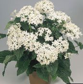 white Pentas, Star Flower, Star Cluster Herbaceous Plant
