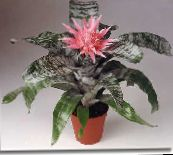 pink Silver Vase, Urn Plant, Queen of the Bromeliads