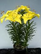 yellow Lilium Herbaceous Plant