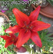 red Lilium Herbaceous Plant