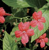 red Monkey Plant, Red ruellia