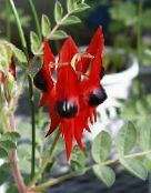 red Lobster Claw, Parrot Beak Herbaceous Plant