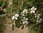 branco New Zealand Tea Tree Arbusto