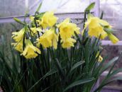 yellow Daffodils, Daffy Down Dilly Herbaceous Plant