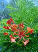 red Royal Poinciana, Flamboyant Tree