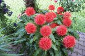 red Paint Brush, Blood Lily, Sea Egg, Powder Puff Herbaceous Plant