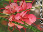 red Grevillea Shrub