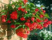 red Begonia Herbaceous Plant