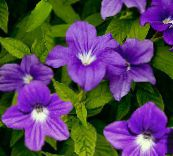 purple Browallia Herbaceous Plant
