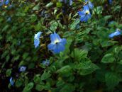 light blue Browallia Herbaceous Plant