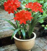 red Vallota Herbaceous Plant