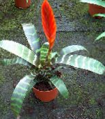 red Vriesea Herbaceous Plant