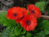 red Transvaal Daisy Herbaceous Plant