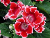 red Sinningia (Gloxinia) Herbaceous Plant