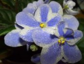 light blue African violet Herbaceous Plant