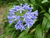 light blue African blue lily Herbaceous Plant