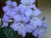light blue Strep Herbaceous Plant