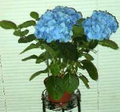 light blue Hydrangea, Lacecap Shrub