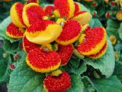 red Slipper flower Herbaceous Plant