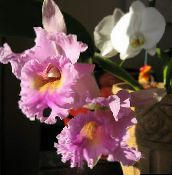 pink Cattleya Orchid Herbaceous Plant