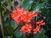 red Clerodendron Shrub