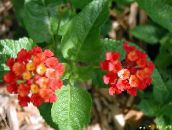 red lantana Shrub