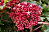 pink Red Leea, West Indian Holly, Hawaiian Holly Shrub