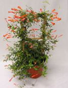 red Candy Corn Vine, Firecracker Plant Liana