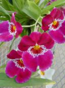 pink Miltonia Herbaceous Plant