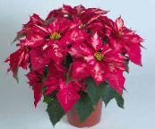 pink Poinsettia Herbaceous Plant