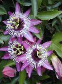lilac Passion flower Liana