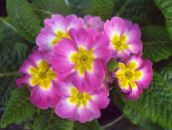 pink Primula, Auricula Herbaceous Plant