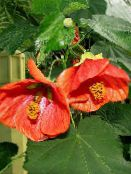 red Flowering Maple, Weeping Maple, Chinese Lantern Tree
