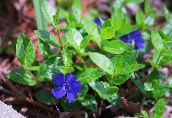 photo  Common Periwinkle, Creeping Myrtle, Flower-of-Death, Vinca minor blue