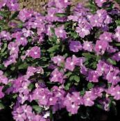 photo  Common Periwinkle, Creeping Myrtle, Flower-of-Death, Vinca minor lilac