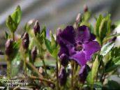 photo  Common Periwinkle, Creeping Myrtle, Flower-of-Death, Vinca minor purple