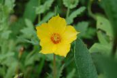 photo Garden Flowers Bartonia aurea yellow