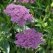 photo Garden Flowers Pimpinella Anisum lilac