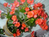 photo Garden Flowers Wax Begonias, Begonia semperflorens cultorum orange