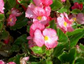 photo Garden Flowers Wax Begonias, Begonia semperflorens cultorum pink