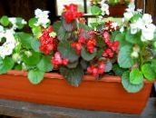 photo Garden Flowers Wax Begonias, Begonia semperflorens cultorum red