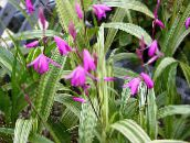 photo Garden Flowers Ground Orchid, The Striped Bletilla pink