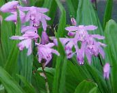 photo Garden Flowers Ground Orchid, The Striped Bletilla lilac
